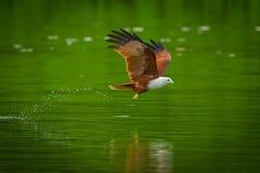 Brahminy kite(Haliastur indus). Flying  on water in nature of Thailand Royalty Free Stock Photos