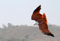 Brahminy Kite, in mid dive. Haliastur indus snapped diving for fish prey near Bangalore, India stock photo
