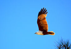 Brahminy Kite. Off Fraser Island, Queensland, Australia Stock Photography