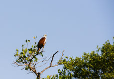 Brahminy Kite Royalty Free Stock Photography