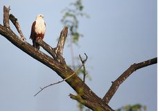 Brahminy kite perching Royalty Free Stock Photos