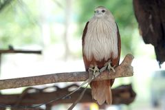 Brahminy Kite. Red backed Sea Eagle on branch. stock images