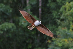 Brahminy Kite Red backed sea eagle Flying in the rain Stock Photo