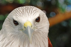 Brahminy Kite Red backed sea eagle Headshot Stock Images