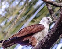 Brahminy Kite. Rest of tree( Haliastur Indus) Karnataka Stock Image