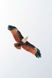 Brahminy Kite soaring. Kite view from below, snapped near bangalore, India royalty free stock photos