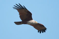 Brahminy Kite. Taken from Punggol Barat of Singapore Stock Photo