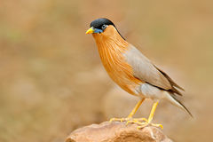 Brahminy myna or brahminy starling, Sturnia pagodarum, bird from India. Myna sitting on the stone, clear background. Birdwatching. In India Royalty Free Stock Photos