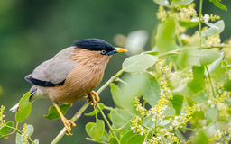 The brahminy myna or brahminy starling Royalty Free Stock Photos
