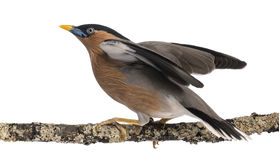 Brahminy Myna fly away from a branch - Sturnia pagodarum Royalty Free Stock Photo