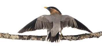Brahminy Myna fly away from a branch - Sturnia pagodarum Stock Image