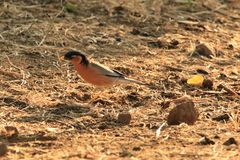 Brahminy Myna. The brahminy myna or brahminy starling is a member of the starling family of birds. It is usually seen in pairs or small flocks in open habitats Stock Photography