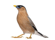 Brahminy Myna - Sturnia pagodarum Stock Photos