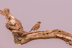 Brahminy myna on the tree trunk in the mid forest. In the early morning stock photography