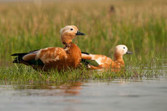 Brahminy Shelduck pair Stock Image