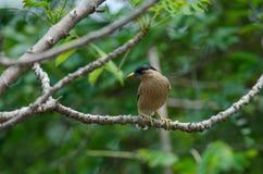 Brahminy Starling на дереве в pagodarum Sturnus природы стоковые фото