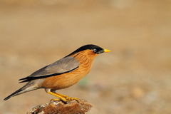 Brahminy Starling Fotografia de Stock Royalty Free