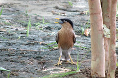 Brahminy starling in the backyard Royalty Free Stock Photography