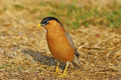 Brahminy Starling Stock Images