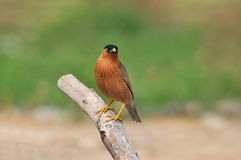 Brahminy Starling (bird). Brahminy Starling  bird of thailand background Stock Photography
