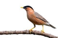 Brahminy Starling bird Stock Image