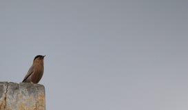 Brahminy starling die in de hemel staren Stock Afbeelding