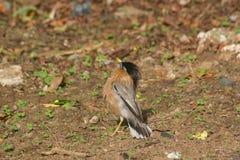 Brahminy starling Male Stock Photography