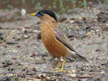 Brahminy Starling Royalty Free Stock Image