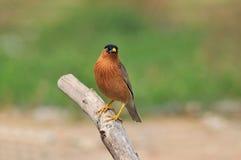 Brahminy Starling (oiseau) Photographie stock