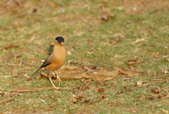 Brahminy Starling in Pench Tiger Reserve Stock Photography