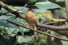 Brahminy starling Stock Photography