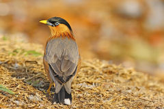 Brahminy Starling Royalty Free Stock Images