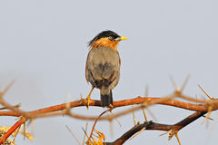 Brahminy Starling Sturnus pagodarum Birds of Thailand Stock Photography