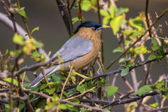 Brahminy Starling (Sturnus Pagodarum) Stock Photos