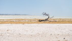Braided acacia tree in desert landscape in the Etosha National Park, travel destination in Namibia.  Stock Image
