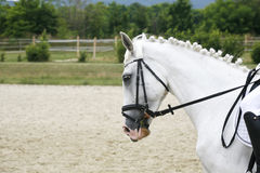 Braided mane for dressage sport horse during a dressage training Royalty Free Stock Photo