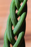 Braided Plant Royalty Free Stock Images
