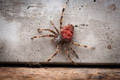Orb-weaving spider Araneus angulatus male,  on white background, rear view. Braided spider Araneus angulatus red adult scary poisonous spider with red belly Royalty Free Stock Photos