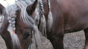 Braids on the mane of a horse. Braids on the mane of a horse stock video footage