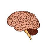 Brain. Illustration brain on isolated background Royalty Free Stock Photos