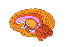 Brain. Human inner brain on white background Royalty Free Stock Photos