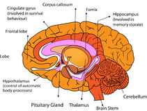 Brain. Human inner brain on white background Stock Photo