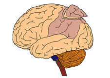 Brain. Human outer brain on white background Stock Image
