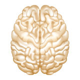 Brain. Isolated on the white Royalty Free Stock Image