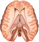 Brain. Medical illustration of a human brain cross-section Royalty Free Stock Photography