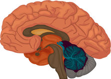 Brain. Medical illustration of a human brain cross-section vector illustration