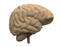 Brain. Side view of human brains - main organ of the central nervous system. 3D medical illustration Royalty Free Stock Photo