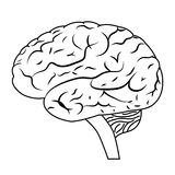 Brain. Royalty Free Stock Image