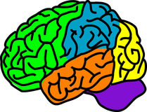 Brain. Vector illustration for a anatomy brain in separate color Royalty Free Stock Photography