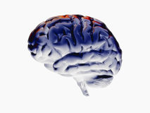 Brain 3d. Fine 3d rendering of brain model on white background Royalty Free Stock Photos